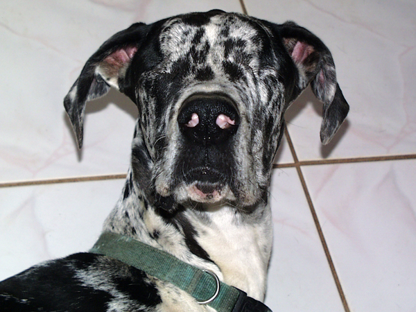Miracle our blind Dane